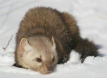 снежок сосенки martin Стоковая Фотография
