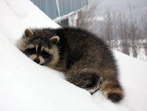 снежок спать raccoon Стоковая Фотография RF