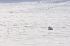 снежок сыча сидя снежный Стоковая Фотография RF