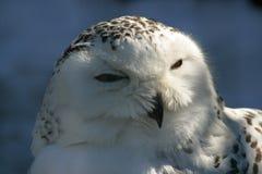 снежок сыча Стоковые Фотографии RF