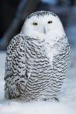 снежок сыча Стоковые Фото