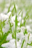 снежок травы Стоковые Изображения