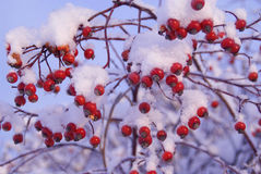 снежок ягод красный вниз Стоковые Изображения