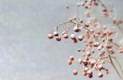 снежок ягод Стоковое Фото