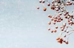 снежок ягод Стоковые Фото