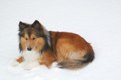 снежок 10 собак Стоковое Изображение RF