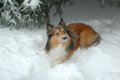 снежок 4 собак Стоковые Фотографии RF