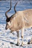 снежок addax Стоковое Изображение