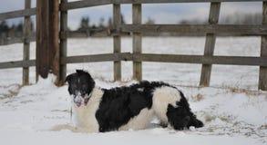 снежок borzoi стоковое фото rf