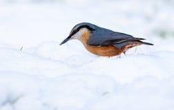 снежок nuthatch Стоковые Изображения