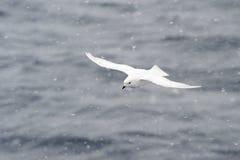 снежок petrel вьюги Стоковые Фотографии RF