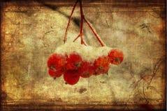 снежок rowanberry grunge Стоковое Изображение RF
