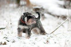 снежок schnauzer Стоковые Изображения RF