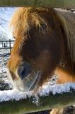 снежок shetland пониа стоковое изображение