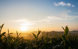 Снимает чай в восходе солнца утра Стоковые Фото