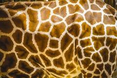 Снимите кожу с детали, красивого жирафа в парке зоопарка Стоковое Изображение