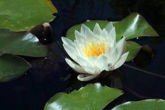 Снимок крупного плана лилии белой воды Стоковые Изображения RF