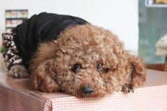 Сногсшибательная курчавая собака щенка стоковое изображение rf