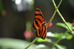 Сногсшибательная маленькая оранжевая бабочка тигра дуба в природе стоковые фото
