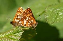 Сногсшибательная пара сопрягая герцога бургундского lucina Hamearis бабочки садясь на насест на лист Стоковые Фото