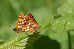 Сногсшибательная пара сопрягая герцога бургундского lucina Hamearis бабочки садясь на насест на лист Стоковое Изображение