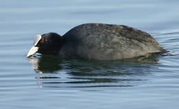 Сногсшибательное заплывание atra Fulica простофили в озере стоковое фото