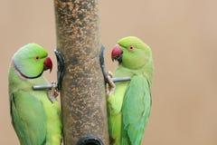 Сногсшибательное Кольц-necked krameri ожерелового попугая длиннохвостого попугая 2 подавая от фидера птицы семени Стоковые Фотографии RF