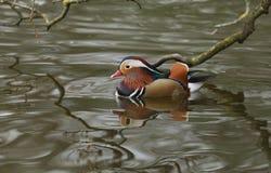 Сногсшибательное мужское заплывание galericulata AIX утки мандарина в озере стоковое фото rf