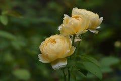 Сногсшибательное обилие желтых роз в саде Стоковые Изображения RF