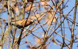 Сногсшибательное редкое мужское pytyopstittacus Loxia клеста попугая садилось на насест на ветви дуба в зиме Стоковые Фото