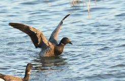 Сногсшибательное bernicla чёрной казарки гусыни Брента в море при свои крыла протягиванные вне Стоковые Фото