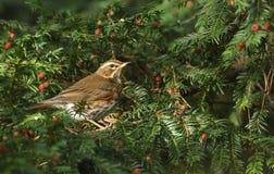 Сногсшибательное iliacus Turdus белобровика садилось на насест в дереве yew среди ягод которые оно ело Стоковые Изображения