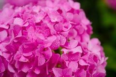 Сногсшибательные цветения гортензии Цвести цветки в саде лета Розовое цветене гортензии полностью Показные цветки внутри стоковые фото