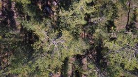 Сногсшибательный полет трутня над высокогорным лесом сток-видео