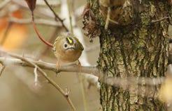 Сногсшибательный регул регула птицы Goldcrest садился на насест на ветви ища для насекомых для еды Стоковые Изображения RF