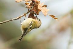 Сногсшибательный регул регула птицы Goldcrest садился на насест на ветви ища для насекомых для еды в покрашенных осенью листьях д Стоковое Изображение