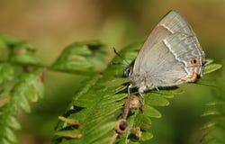 Сногсшибательный фиолетовый quercus Favonius бабочки Hairstreak садясь на насест на лист папоротник-орляка в полесье в Великобрит Стоковое Изображение RF