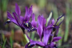 Сногсшибательный цветок радужки карлика в яркое фиолетовом и принятый снаружи Стоковое Изображение