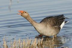 Сногсшибательный anser Anser гусыни Greylag стоя в озере со своим клювом показ открытых и языка и своя шея протягиванные вне Стоковые Фото