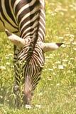 Сногсшибательная зебра бродяжничая вокруг в одичалом Стоковое Изображение