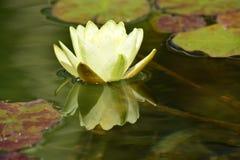 Сногсшибательная лилия и пусковая площадка желтой воды Стоковые Изображения