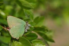 Сногсшибательное зеленое rubi Callophrys бабочки Hairstreak садилось на насест на лист Стоковое Изображение RF