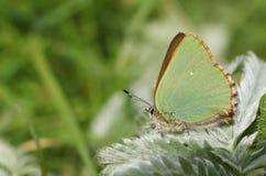 Сногсшибательное зеленое rubi Callophrys бабочки Hairstreak садилось на насест на лист Стоковые Изображения