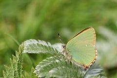Сногсшибательное зеленое rubi Callophrys бабочки Hairstreak садилось на насест на лист Стоковое фото RF