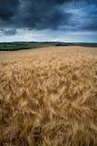 Сногсшибательное пшеничное поле ландшафта сельской местности в заходе солнца лета Стоковое Фото