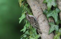 Сногсшибательное Treecreeper, familiaris Certhia, садилось на насест на ветви окруженной листьями плюща Стоковое Фото