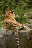 Сногсшибательно красивое вид сзади тигра Амура Стоковые Изображения