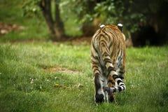 Сногсшибательно красивое вид сзади тигра Амура Стоковое Изображение RF