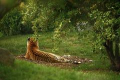 Сногсшибательно красивое вид сзади тигра Амура Стоковые Фотографии RF