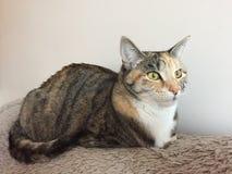 Сногсшибательный женский кот Tabby стоковые изображения rf
